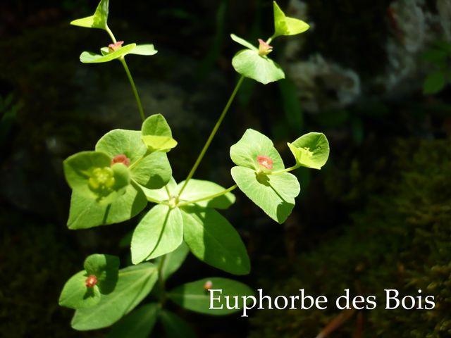 http://lynn.lynn.free.fr/Euphorbe_Bois_640.jpg